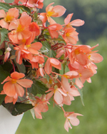 Begonia California Sunlight Grosplan
