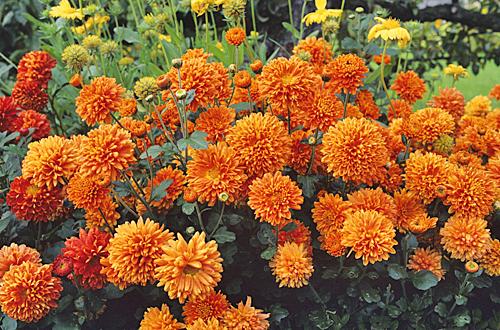 Chrysanthemum Bronze Fairie MAP ADE GIP0039116