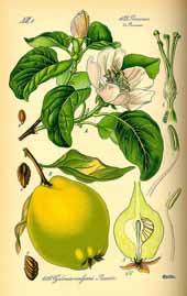 Coing Flora von Deutchland 1885 149017