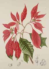 Poinsettia Hoola van Nooten 1880