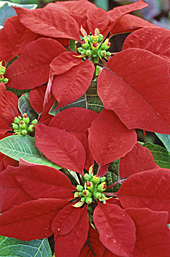 Poinsettia MAP ADE GIP141128001