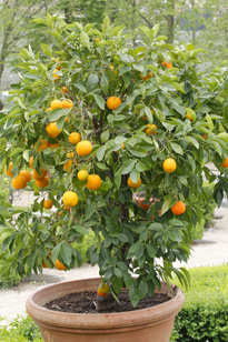 Citrus sinensis Oranger Mioulane MAP NPM 719510882