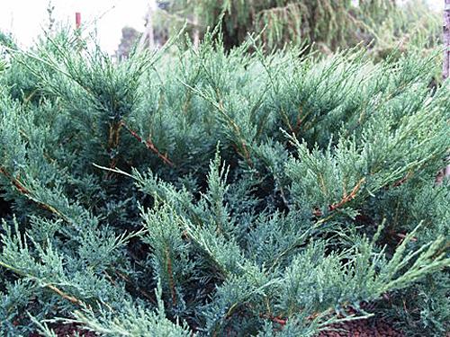 Juniperus sabina Blue Danube