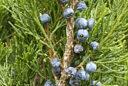 Juniperus sabina MAP FTO 140106256
