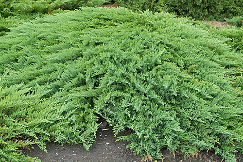 Juniperus sabina tamariscifolia MAP NPA 0508240195