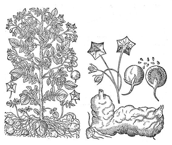 Bauhin Solanum tuberosum