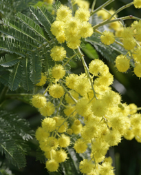 Mimosa Gaulois Astier Mioulane MAP NPM 850373034