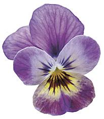 Viola cornuta Endurio Pink Shade Detouree
