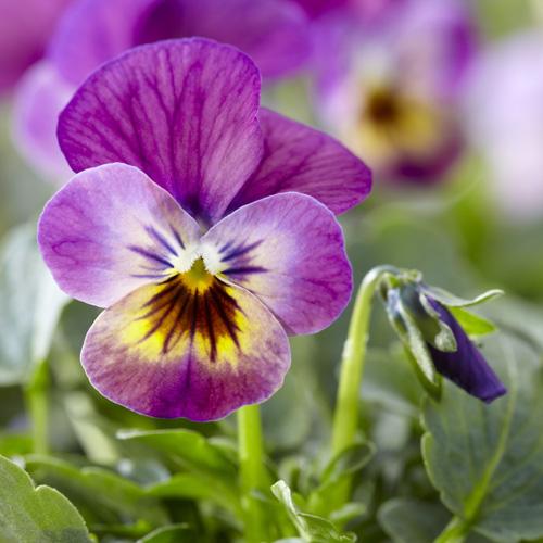 Viola cornuta Endurio Pink Shade Grosplan Syngenta FloriPro Servicesc Endurio Pink Shades 3