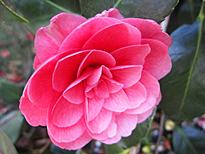 Camellia hybride April Kiss