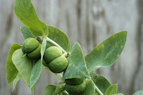 Euphorbia lathyris MAP SCH970 GWI