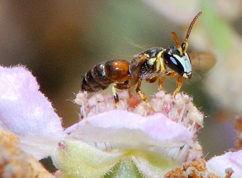 Hylaeus rubicola male Gidip