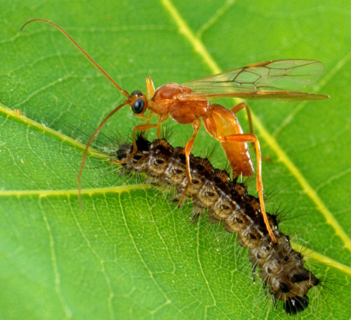 Ichneumon parasitoide chenille