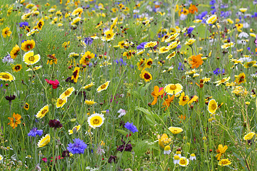 Jachere fleurie Mioulane MAP NPM 90160459