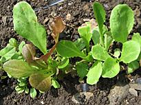 Laitue Plant semis