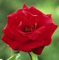 Rose Marcel Pagnol MAP AKU 080819025