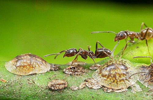 Cochenilles a bouclier et fourmis