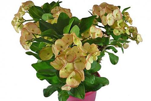 Euphorbia RolitaRose Fin