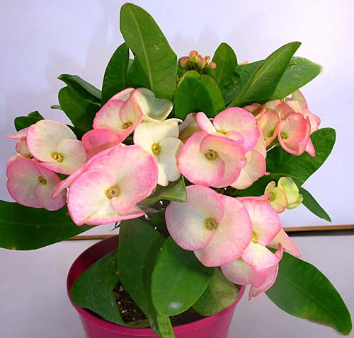 Euphorbia Rolita rose