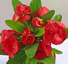 Euphorbia Rolita rouge