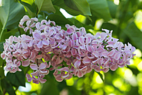 Lilas Audrey Mioulane MAP NPM 914379508
