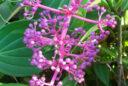 Medinilla magnifica inflorescence bouton