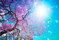 Prunus Printemps soleil