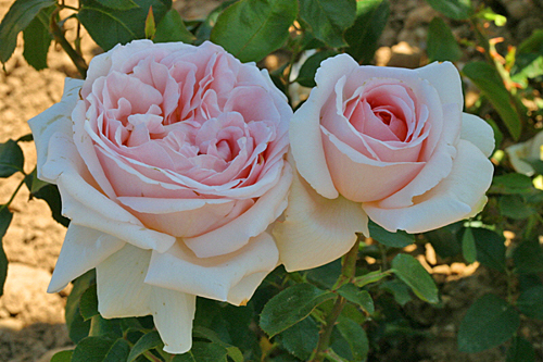 Rose Andre le Notre Mioulane MAP 0006626