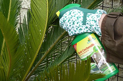 Traitement Cochenilles Mioulane P1070289