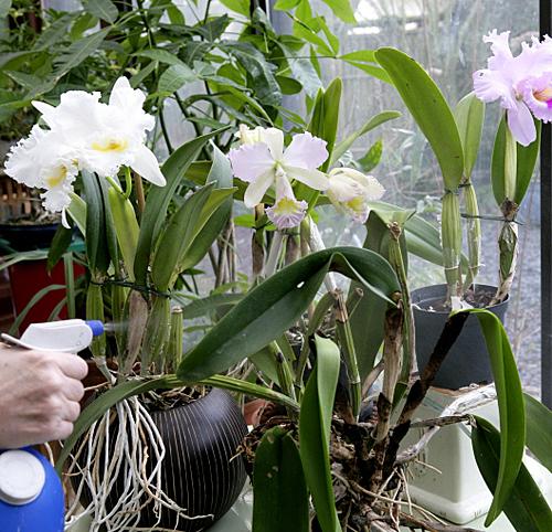 Vaporisation orchidee Mioulane MAP NPM 100305563