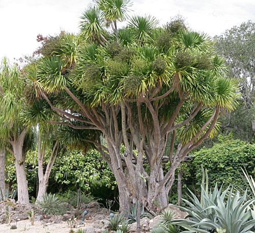 Yucca gigantea biotope Mioulane MAP NPM 090202211