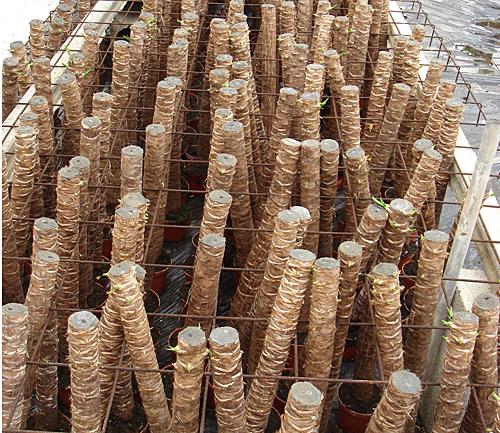 Yucca production