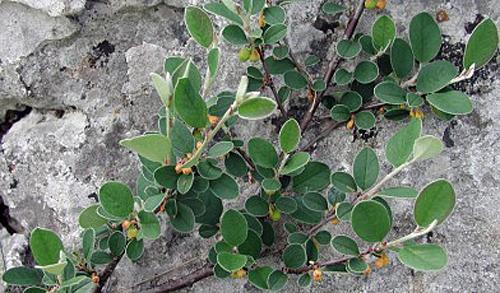 Cotoneaster cambricus