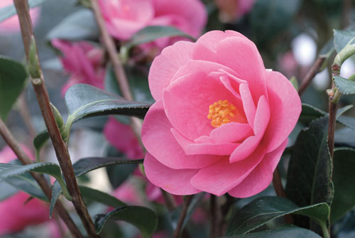 Camellia Barbara Clark ADE 070305159