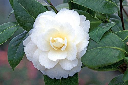 Camellia japonica Dahlohnega ADE 070305192
