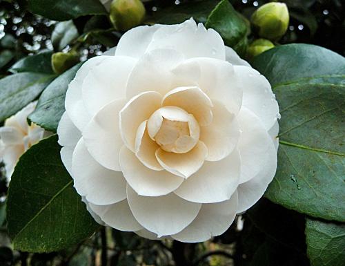 Camellia japonica montironi