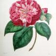 Camellia santiniana NPA 150420001