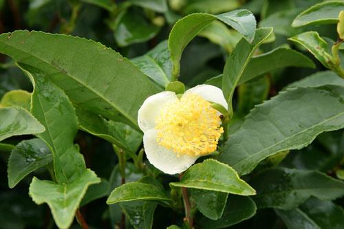 Camellia sinensis theier