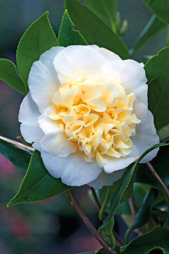 Camellia williamsii Jurys Yellow ADE 070305189