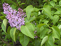 Lilas avril Taille