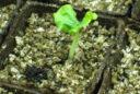 Semis Vermiculite Germination