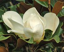 Magnolia grandiflora fleur MAP NPA 061013347