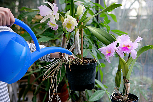 Arrosage orchidee Mioulane MAP NPM 850369166
