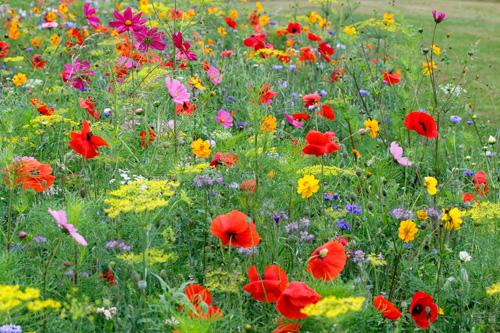 Jachere fleurie Mioulane MAP NPM 90160445