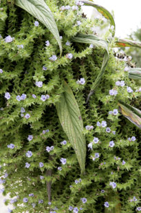Echium pininana Mioulane MAP NPM 091028053