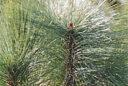 Pinus montezumae Shefield Park