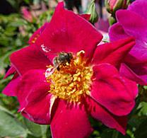 Rose Naturen NewsJardinTV P1010196