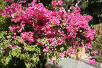 Bougainvillier Mioulane MAP 9N7B2093