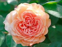 Rose Leander Mioulane MAP 98321647