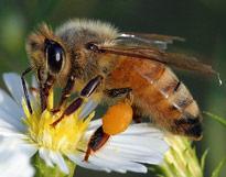 Apis mellifera abeille
